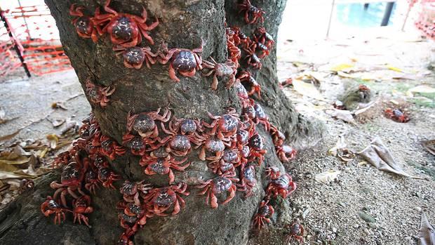 Die Krabben nehmen auf ihrer Wanderung gegebenenfalls auch Bäume in Beschlag