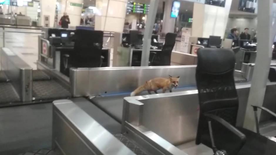 Sonderbarer Passagier - Fuchs läuft durch Moskauer Flughafen